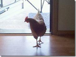 Gertie The OFFICIAL KY Marijuana Party Chicken